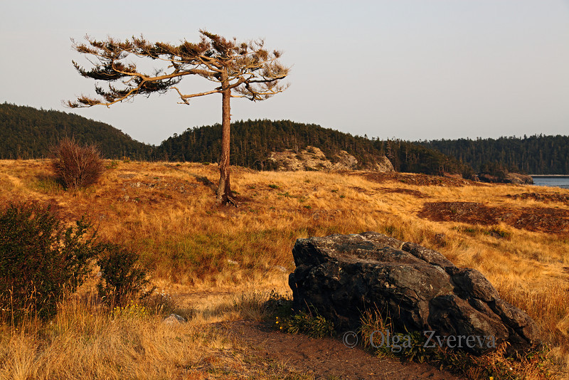 <p>Lonely pine tree survives the wind and sun. Deception Pass State Park, Washington, USA</p>