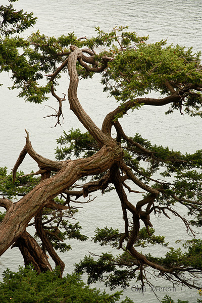 <p>Tree. Deception Pass State Park, Washington, USA</p>