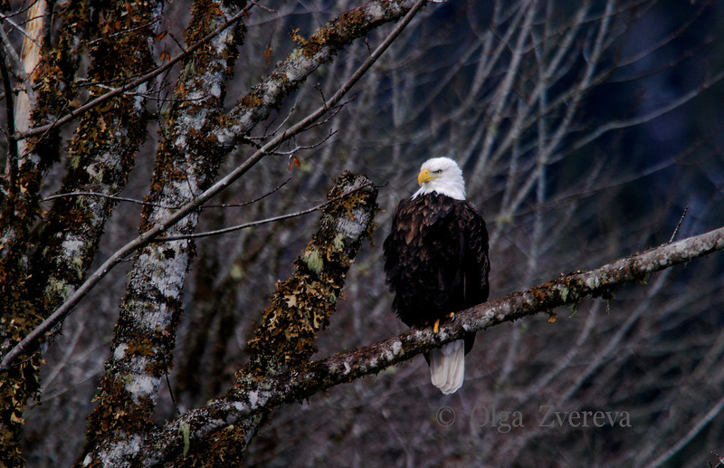 <p>Bold eagle at Upper Skagit river, North Cascades National Park, Washington, USA</p>