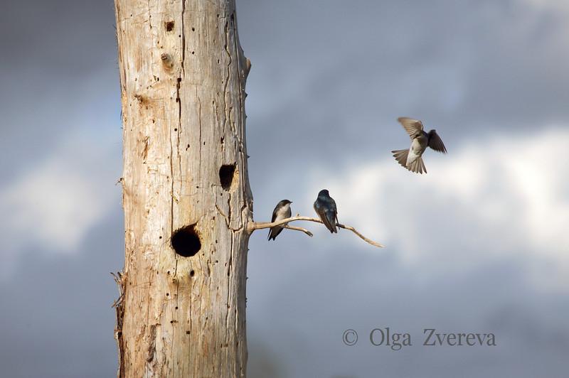 <p>Party for Three. Tree swallows, Lake Washington, Kirkland, Washington, USA</p>