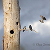 <p>Party for Three. Tree swallows, Lake Washington, Kirkland, Washington, USA</p>