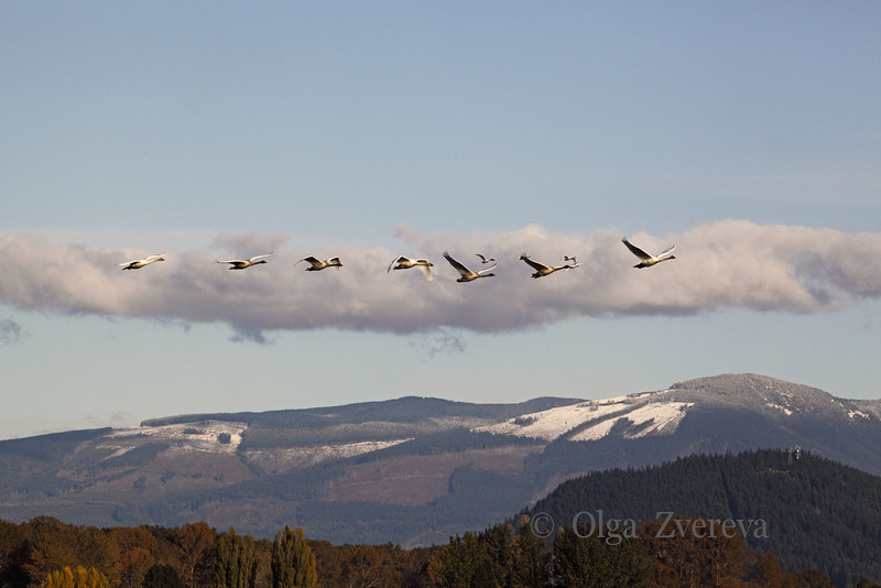 <p>Trumpeter Swans flying above the mountains in Skagit Valley, Washington, USA</p>