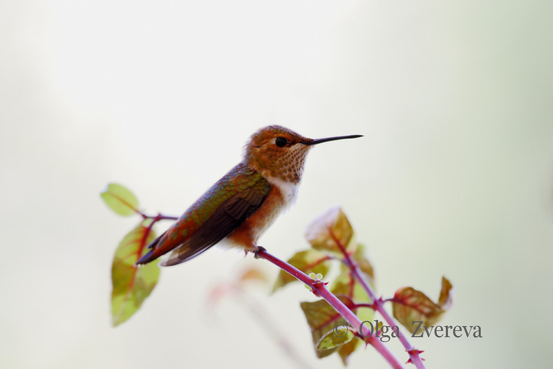 <p>Hummingbird. Redmond, Washington, USA</p>