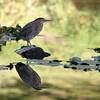 <p>Green Heron is reflected in the pond, Washington, USA</p>