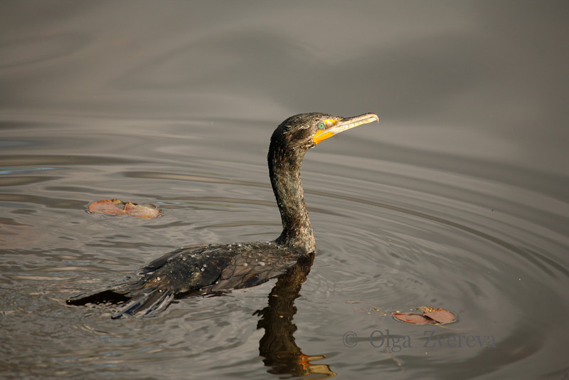 <p>Green Eye. Cormorant, Lake Washington, Kirkland, Washington, USA</p>
