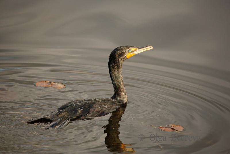 <p>Green Eye. Cormorant, Lake Washington, Kirkland, Washington, USA</p>