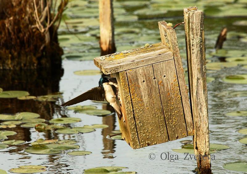 <p>Lunch time. Tree swallows, Lake Washington, Kirkland, Washington, USA</p>
