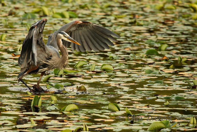 <p>Balance. Blue heron, Lake Washington, Kirkland, USA</p>