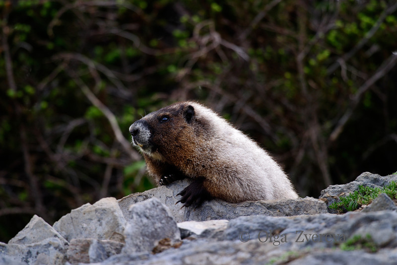 <p>Marmot at Mount Rainier National Park, Washington, USA</p>