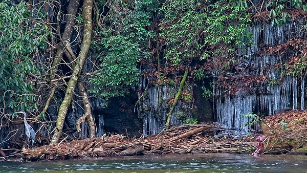 Icicles and Great Blue Heron on the Little River