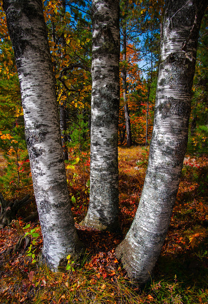 Birch Clump