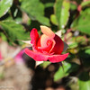 Orange Red Rose Bud