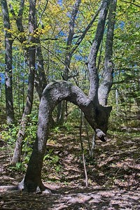 The Dragon Tree on the trail to the falls