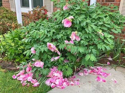 Tree Peony demolished by heavy rain……with more on the way