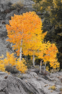 Trees in a blaze of color at Lake Sebrina - Bishop,CA