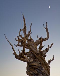 Ancient Bristlecone Pine - Lone Pine, CA