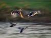 Fleeing Ducks