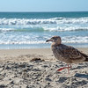 Juvenile Sea Gull