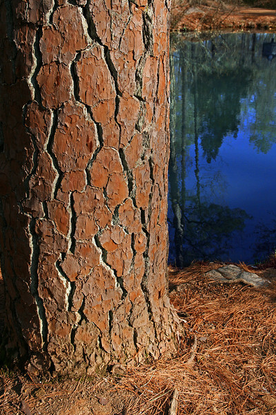 Rugged Pine - This one borders a pond near Berry Colleges' Waterwheel.