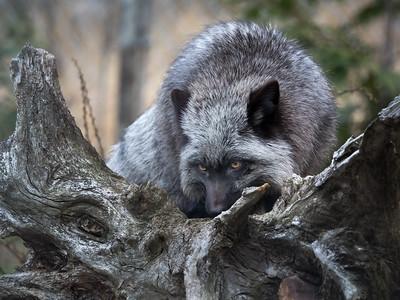 Arctic Fox at Lakota Wolf Preserve