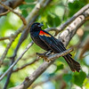 Red-winged Blackbird_(site)