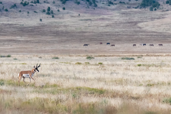 Pronghorn and Horses