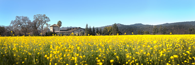 "V. Sattui Winery provides the backdrop for this amazing annual display of Mustard Flowers in the Napa Valley.  This image is designed to be printed at 10""x30"""