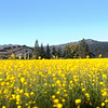 "V. Sattui Winery provides the backdrop for this amazing annual display of Mustard Flowers in the Napa Valley.<br /> <br /> This image is designed to be printed at 10""x30"""