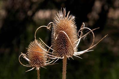 "Dried Thistle Heads, near Watson Lake, ""The Dells"" Prescott, AZ."