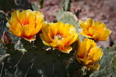 Prickley Pear Blossoms Arizona