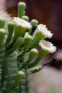 Giant Saguaro Blooms, Arizona