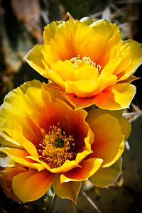 Prickley Pear Blossoms