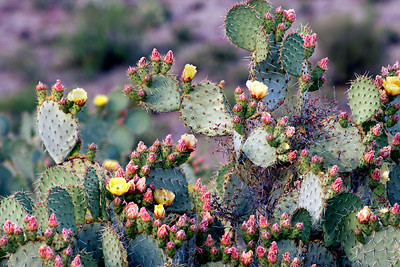 Pickely Pear Cactus