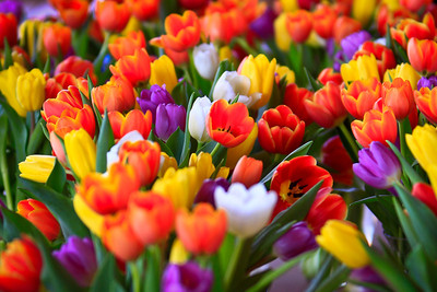 Tulips Mixed Bunch