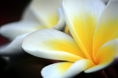 Plumeria Macro, Cathedral City, California