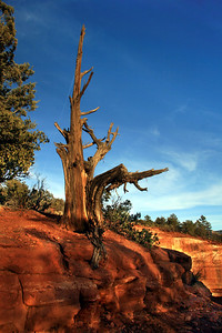 Late Afternoon Sun on a Cypress Snag at Devils Kitchen, Seven Sacred Pools Trail, Sedona, Arizona