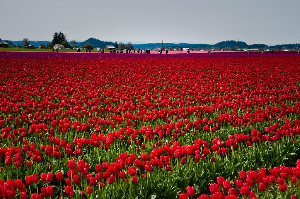 Tulip Festival 2010 #156