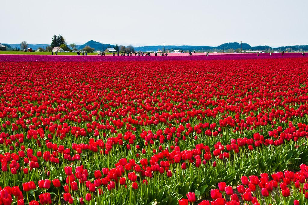 Tulip Festival 2010 #154