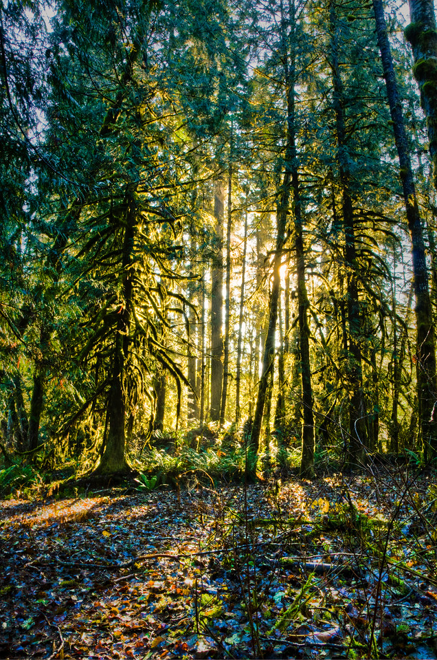 Sun Thru Trees at Forks Camp.