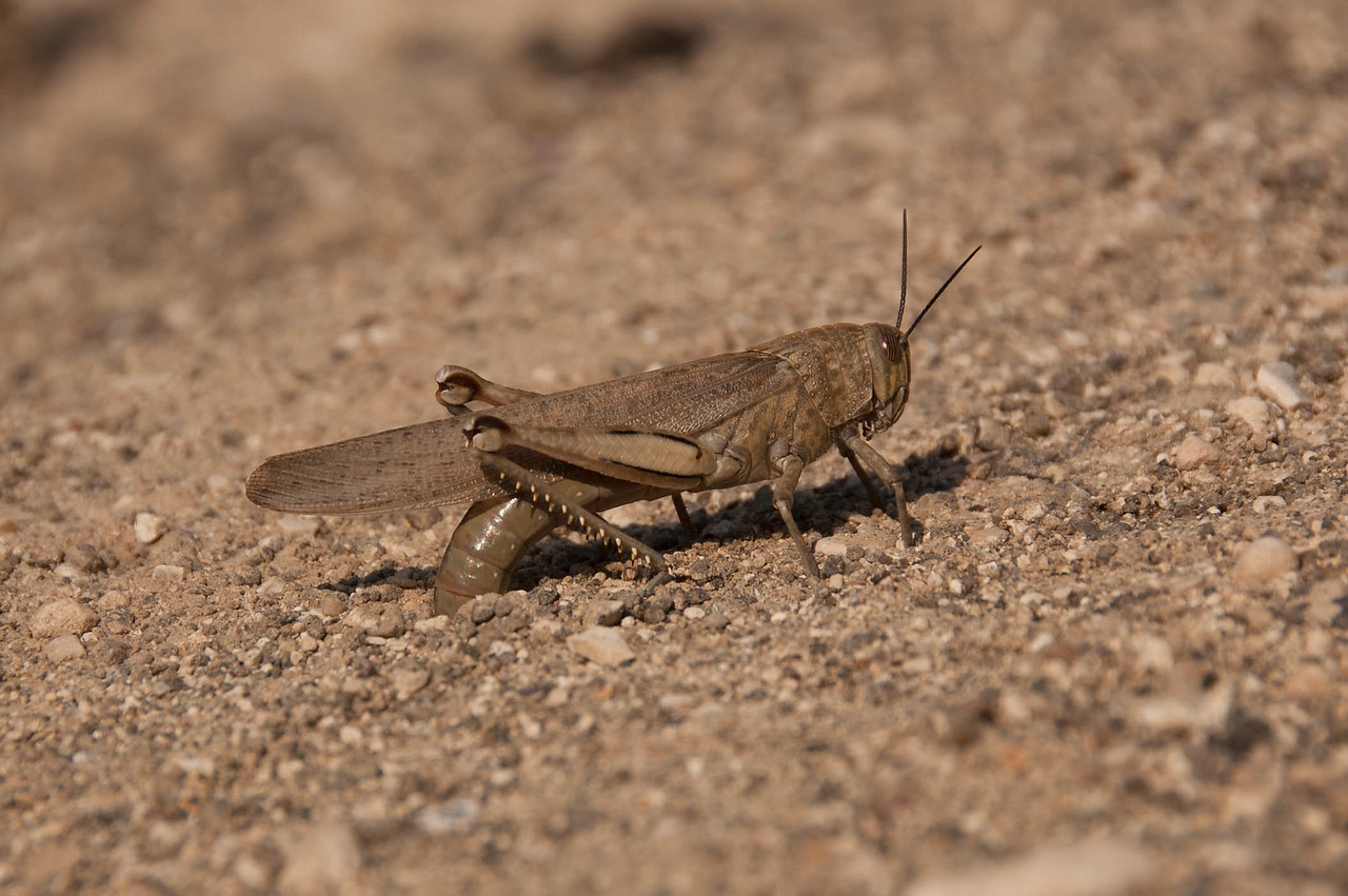 A Grasshopper laying eggs in a dirt road. Ramat Hagolan, Israel.