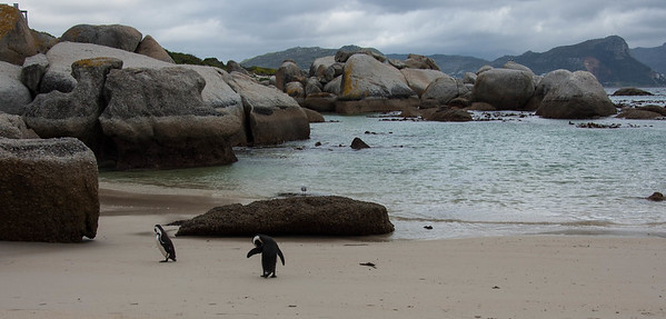 African Penguins found only on the coastkine of Southern Africa (South Africa and Namibia). These were taken at Boulders beach on the cape peninsula. The birds are on the verge of extinction and are under protection. From 2 breeding pairs in 1982, there are about 3,000 birds in the colony today.