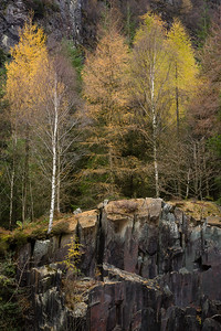 Birches and Larch