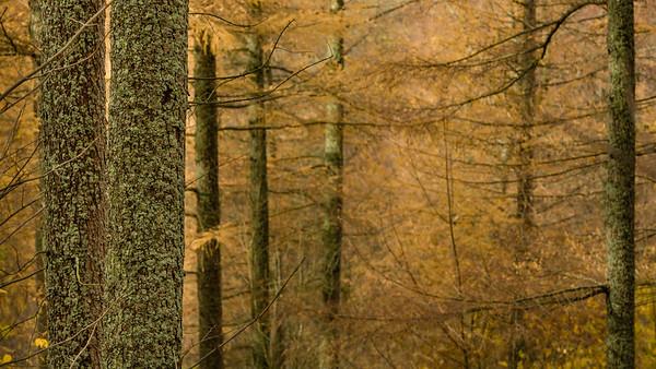 Larches and Lichen