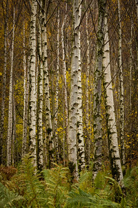 Birch Trees with Ferns