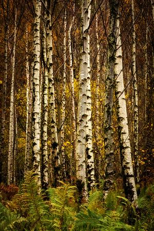 Birches & Ferns