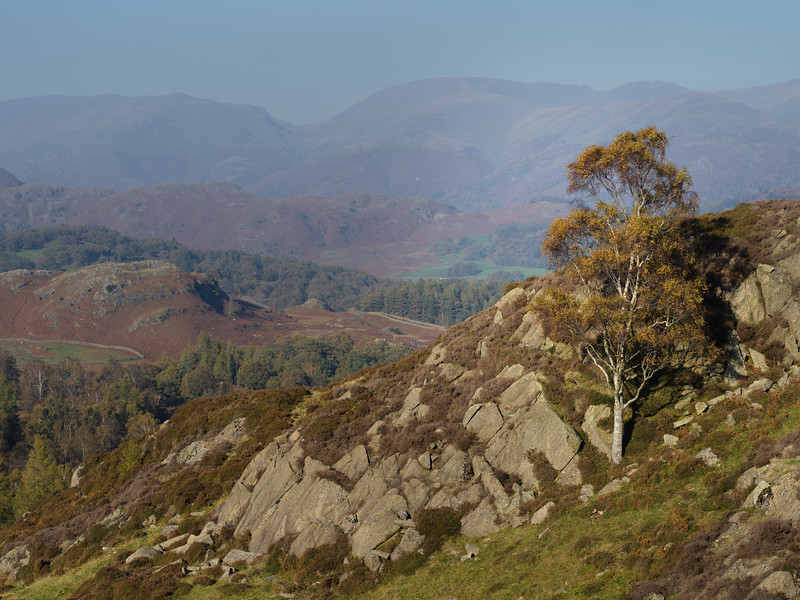 Lake District Autumn Birch