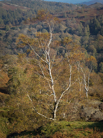 Lake District Autumn Birch Tree - 02