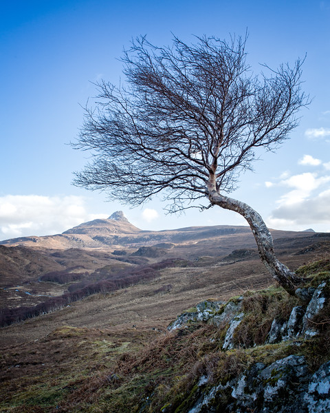 Lone Birch and Stac Pollaidh