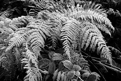 Frost on Bramble & Bracken -2