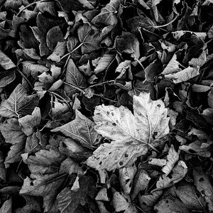 Frosted leaves - 2